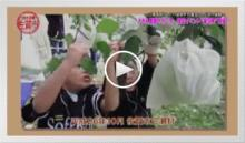 動画で見よう!~三瀬高原りんごの袋剥ぎ作業&リンゴ狩り体験