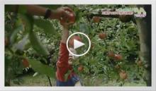 動画で見よう!~さがん農業サポーター リンゴ狩り体験!