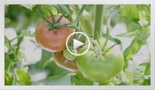 動画で見よう~トマト